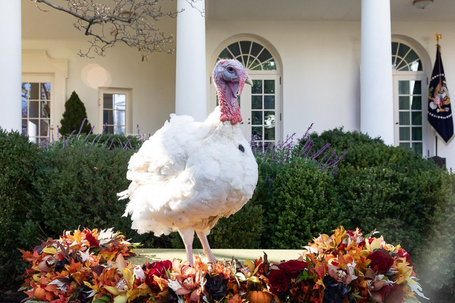 Give Peas a chance.  Peas,  the winner of the 2018 Turkey Pardon, poses in front of the White House.